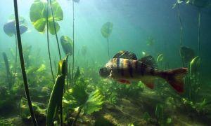 Окунь — все что нужно знать для успешной рыбалки