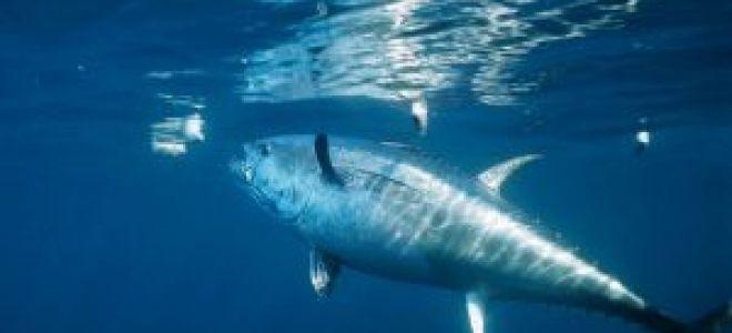 Атлантический тунец